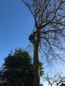 Beech Tree Removal | EA Formby (NW) | Tree Services | Arboriculture